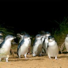 神仙企鹅大巡游 墨尔本菲利普企鹅岛 企鹅归巢门票(多种看台可选)Penguin Parade